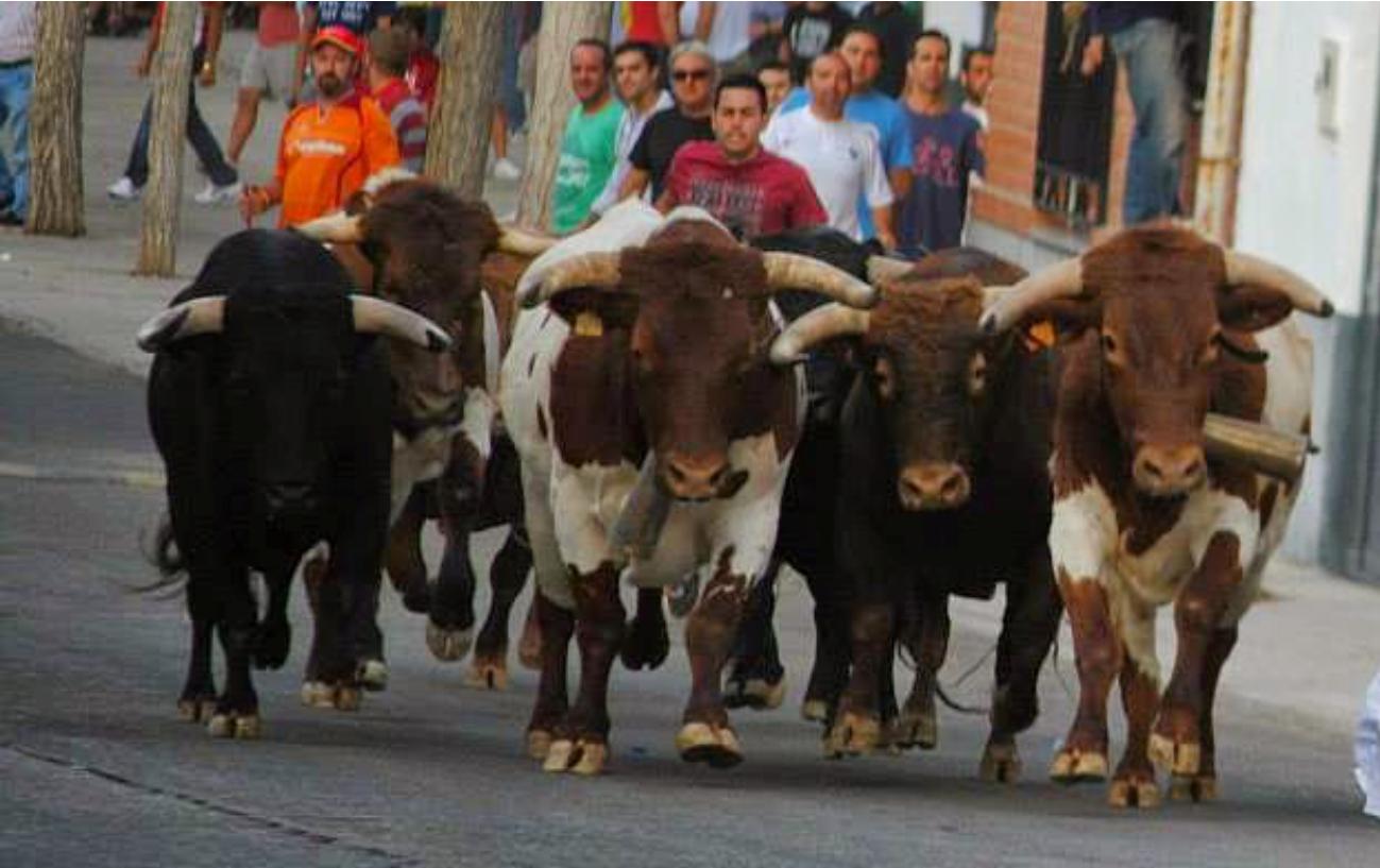 Nuestros bueyes en los populares encieeros de Villaseca de la Sagra en 2018